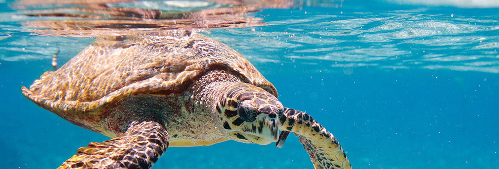 Sea Turtle in clear water